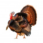 bigstock_Turkey_Tom_On_White_1219639