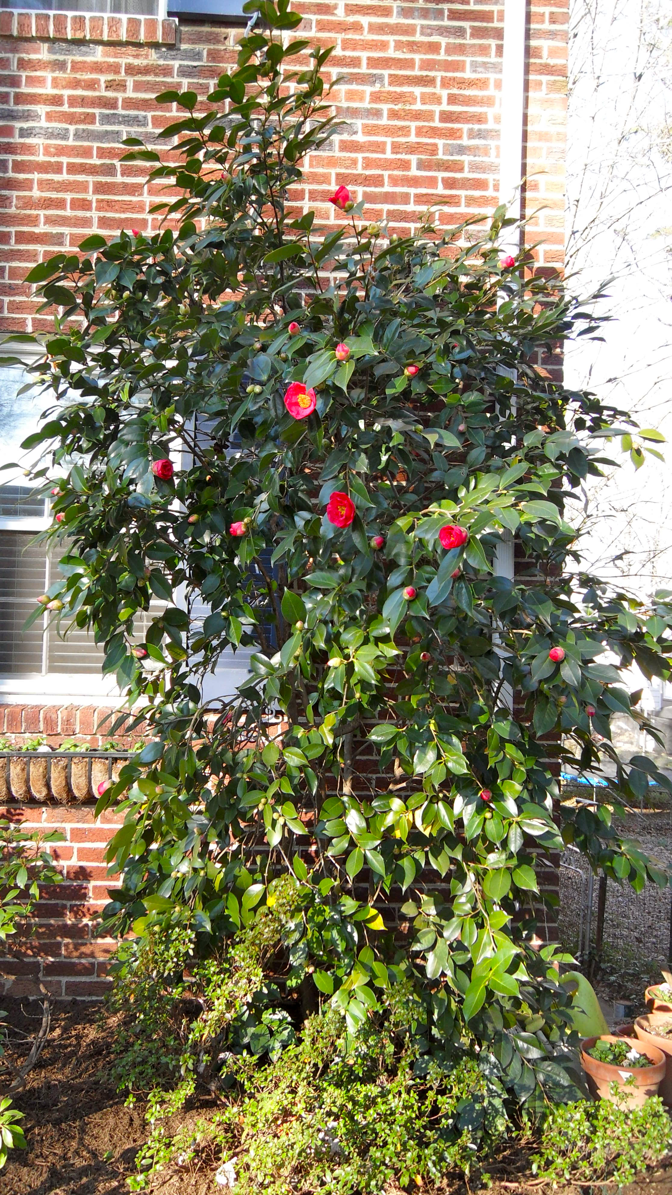 Camillia Bush in Bloom