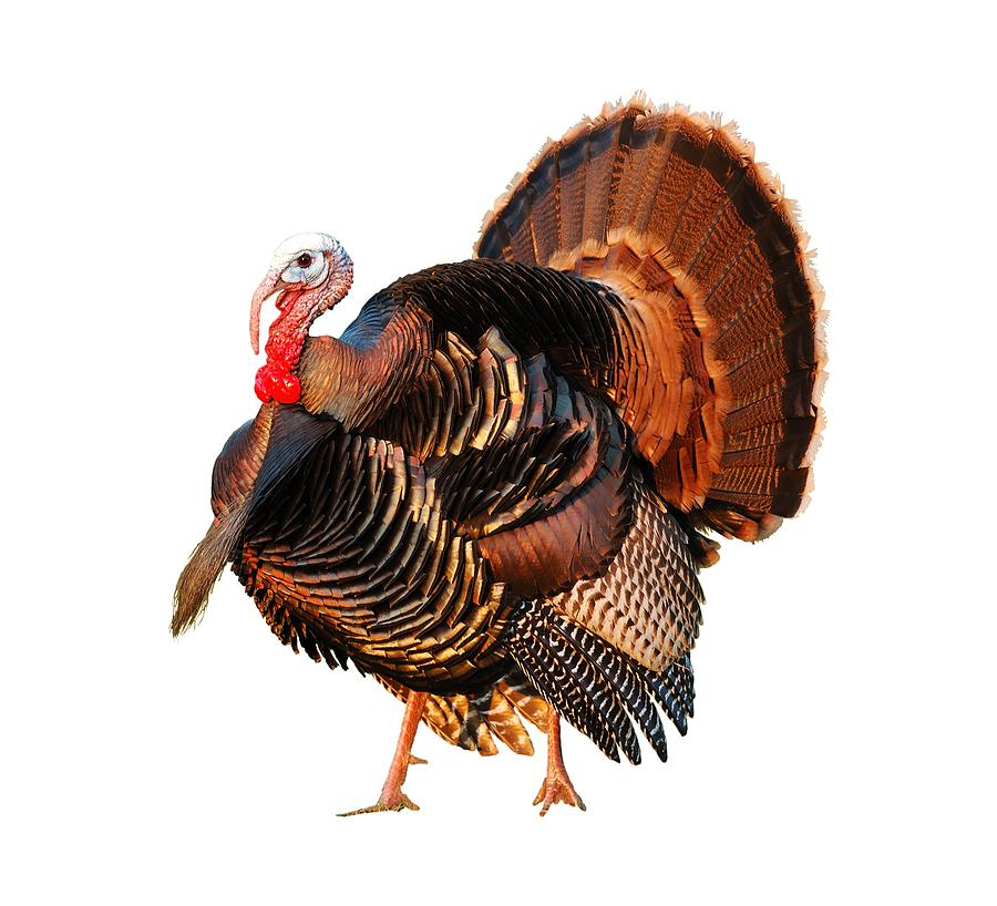 bigstock_Turkey_Tom_On_White_1219639