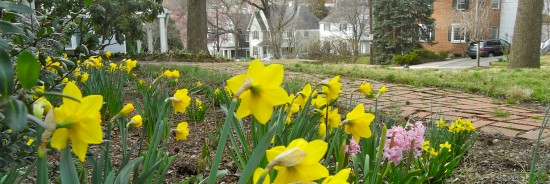 Daffodils in East Bethesda 3/12