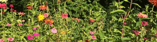 Fall zinnias- corner of Chelton & Sleaford