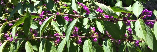 berrires