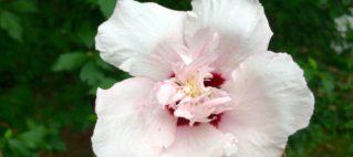 Summer flower rose of Sharon