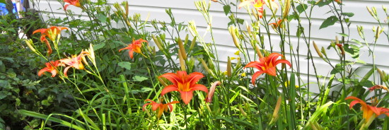 June Lillies
